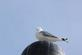 A seagull sits on top of a light for a better view.. Taken March, 19, 2017 Dubuque Marina by Veronica McAvoy.