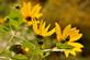 A false sunflower blooms along a trail.. Taken August 25, 2021 Mines of Spain, Dubuque, IA by Veronica McAvoy.