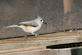 A tufted titmouse grabs a sunflower seed from a feeder.. Taken February 5, 2017 Mines of Spain by Veronica McAvoy.