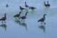 Goose walk on ice.. Taken December 3, 2018 Bergfeld  pond, Dubuque co., IA by Veronica McAvoy.