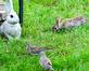 One of these things is not like the other... Rabbit and doves share a meal together. Taken August 15, 2019 Dubuque  by Deanna Tomkins.