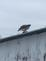 A Red Tail Hawk. Taken January 27,2016 My back yard by Scott Hemesath.