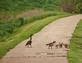 A canada goose family take a stroll across a sidewalk.. Taken May 19, 2021 Bergfeld  pond, Dubuque co., IA by Veronica McAvoy.