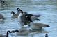 One Canadian goose has wings open while another honks.. Taken December 3, 2018 Bergfeld  pond, Dubuque co., IA by Veronica McAvoy.