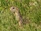A 13 point ground squirrel pokes it's head out of it's borrow in the ground.. Taken May 12, 2019 O'Leary's Lake, WI by Veronica McAvoy.