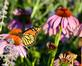 A monarch visits the wildflowers near the riverwalk. Taken in July in Dubuque by Lorlee Servin.