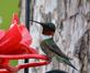Ruby-throated Hummingbird pauses at feeder. Taken July 24, 2015 Backyard by Deanna Tomkins.