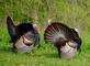 Bachelor turkeys in competition for a hen. Taken May 8, 2016 Northwest Arterial, Dubuque by Deanna Tomkins.