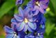 Delphinium blooming at the Arboretum. Taken in August in Dubuque by Lorlee Servin.