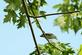 A Blue-grey Gnatcatcher rests on a branch.. Taken July 12, 2021 John Deere Marsh, Dubuque, IA by Veronica McAvoy.