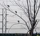 Like notes on a musical staff, White Egrets perch on tree in front of high wires. Taken October 10, 2020 Bee Branch Restoration Project, Dubuque by Deanna Tomkins.