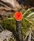 A scarlet elf cup grows on a piece of wood at Swiss Valley. Taken March 24 in Dubuque by Lorlee Servin.