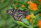 A monarch visits the flowers at the Arboretum. Taken in August in Dubuque by Lorlee Servin.