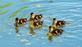 A team of ducklings practice their swimming skills.. Taken May 25, 2020 Bergfeld  pond, Dubuque co., IA by Veronica McAvoy.