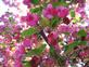 Crab Apple Blossoms. Taken May..2015 Home...Asbury Ia. by Jake Ohms..
