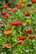 Zinnias galore. Taken in September at the butterfly garden in Bellevue by Lorlee Servin.