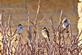 Three little sparrows perch on branches.. Taken December 24, 2018 Bergfeld  pond, Dubuque co., IA by Veronica McAvoy.