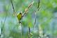 A goldfinch rests on a branch at a marsh.. Taken June 7, 2021 John Deere Marsh, Dubuque, IA by Veronica McAvoy.