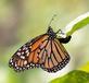 Monarch lays an egg on Milkweed leaf. Taken August 16, 2017 Backyard, Dubuque  by Deanna Tomkins.