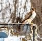 Red-tailed hawk keeps watch over a nearby bird feeder on arbor. Taken January 16, 2019 Backyard, Dubuque by Deanna Tomkins.