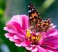 Painted Lady Butterfly on a zinnia. Taken August 16, 2017 Backyard, Dubuque by Deanna Tomkins.