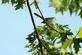 A blue grey gnatcatcher checks out it's surroundings.. Taken July 12, 2021 John Deere Marsh, Dubuque, IA by Veronica McAvoy.