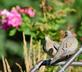 """I'll meet you by the rose bushes."" Mourning doves greet each other. Taken July 26, 2016 Backyard by Deanna Tomkins."