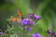 A monarch rests on a flower. Taken August 11th Bellevue State Park by Lorlee Servin.