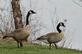 Two Canadian geese head for water for a swim.. Taken March 27, 2021 Bee branch 16th street, Dubuque, IA by Veronica McAvoy.