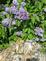 lilacs in bloom. Taken 5-29-15 Petrified Rock Park, Lemmon SD by Patti Menster.