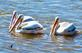 Raphael (turtle) has a brief meeting with pelicans. Taken July 4, 2018 Near Lock and Dam No. 11 by deanna Tomkins.
