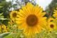 Happy sunflowers. Taken in August at Bellevue butterfly garden by Lorlee Servin.