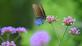 A black swallowtail visits the verbena.. Taken in August At Ohlbrich Botanical Gardens in Madison by Lorlee Servin.