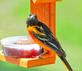 A Baltimore Oriole on a jelly feeder. Taken May 5, 2019 Backyard, Dubuque  by Deanna Tomkins.