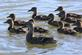 A female mallard and her brood swim in a pond in the early morning.. Taken June 7, 2017 Bergfield pond, Dubuque, IA by Veronica McAvoy.