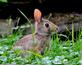 A young Cottontail feeds on backyard clover. Taken July 12th near Dubuque Senior High School by Abigail Ferguson.