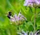 A determined bumblebee hovers over a wildflower. Taken July 14th downtown Dubuque by Abigail Ferguson.