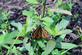 A monarch butterfly hangs onto plant leaves.. Taken August 4, 2018 A. Y. McDonald park, Dubuque, IA by Veronica McAvoy.