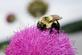 A bumble bee rests on a bull thistle at a park.. Taken June 11, 2018 A. Y. McDonald park, Dubuque, IA by Veronica McAvoy.
