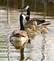 Canada Goose family out for a swim. Taken May 7, 2016 Dubuque by Deanna Tomkins.