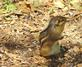 A chipmunk pauses to look around.. Taken August 1, 2019 Swiss Valley nature center, Dubuque co., IA by Veronica McAvoy.