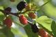Blackberries in bloom.. Taken June 14, 2017 Swiss Valley nature center by Veronica McAvoy.