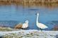 Two swans stand near the edge of a pond.. Taken November 17, 2018 Hurtsville Interpretive Center, Maquoketa, IA by Veronica McAvoy.