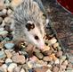 A cute possum youngster makes its way to bird feeders. Taken October 5, 2020 Backyard, Dubuque  by Deanna Tomkins.