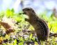 Thirteen-lined ground squirrel dines on a leaf. Taken April 22, 2017 A.Y. McDonald Park, Dubuque  by Deanna Tomkins.
