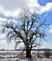 An icy oak tree shines in the morning sunlight. Taken February 25, 2017 Highway 151, just outside Platteville by Deanna Tomkins.