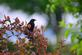 A red-winged blackbird sits in a bush. Taken June in Wisconsin by Lorlee Servin.