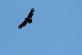 A young bald eagle flies high overhead.. Taken May 7, 2020 O'Leary's Lake, WI by Veronica McAvoy.
