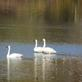 Trumpeter Swans. Taken 11/3/19 Paris Township, Wisconsin by Linda Goodman.