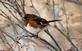 A female Eastern towhee rests on a branch.. Taken January 11, 2021 Swiss Valley nature center, Dubuque co., IA by Veronica McAvoy.